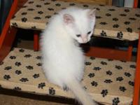 A Blue Eyes Flame point male kitty. He is so cute. Pics