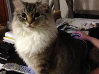 7 year old female purebred Ragdoll cat in need of a new