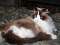 I have adult female Ragdolls looking to re-home! Both