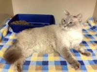Ragdoll - Dusty-pending - Large - Adult - Male - Cat