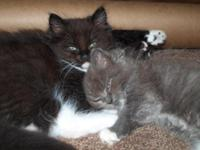 2 Ragdoll - Himalayan Mix Kittens. Our cats are
