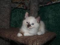 Mitted, Seal Torti-Point Ragdoll Kitten Purebred, but