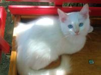 One TICA registered 12 wk old red male ragdoll kitten