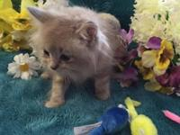 We have a Blue Point Lynx Mink kitten left