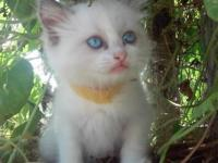 Ragdoll kitten. Super adorable, fluffy blue eyed angel.