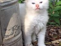 Elliot is a 8 week old male ragdoll kitte. He is super