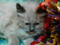 We have just one (1) Ragdoll Kitten left for
