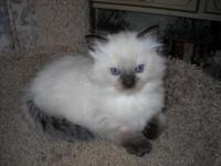 Female ragdoll kitten Seal point mom is a chocolate