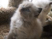 Stunning Seal color point Mink female Mom is Blue color