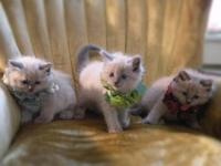 Beautiful Ragdoll Kittens Blue Point Ragdolls Lovely