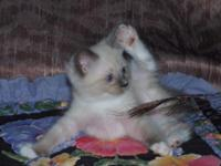 Purebred Ragdoll Kittens 3 males - mitted blue point,
