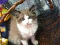 I now have 5 very nice TICA Reg kittens for sale DOB
