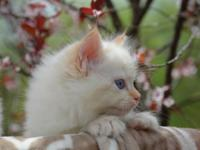 I have Ragdoll kittens available. They are purebred