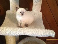 Beautiful seal point Ragdoll male kittens born Feb. 16,