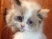 Ragdoll kittens available from Breeder Of The Year
