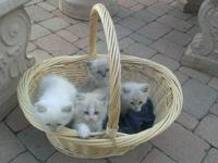 Ragdoll kittens, TICA registered. Born 01/16/13 (10.5