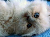 I have 2 female ragdoll kittens left. They are 8 weeks