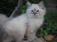 Ragdoll kittens for sale. Ready to go to their forever