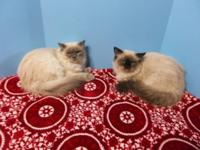 RAGDOLL MALES, 5 MONTHS OLD, BLUEPOINT, SEALPOINT, VERY