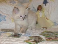 Two TICA signed up seal point lynx mitted females,