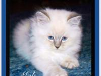 Loving Ragdoll Kittens, need a forever home. They are