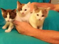 Ragdoll tica registered kittens 11 weeks old $350.00 we