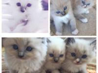 Beautiful ragdoll kittens, 8 weeks old, blue point and