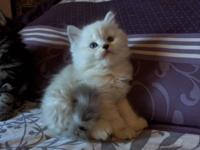 We have bred our beautifull Ragdoll male with our