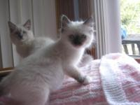 RAGDOLL Kittens TICA Registered For adoption, to loving
