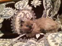 We have the beautiful blue eyed ragdoll kitten along