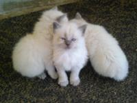 I am in Long Beach Mississippi I have rag doll kittens