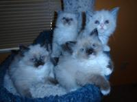 WE HAVE 6 RAGDOLL KITTENS FOR SALE ...3 SEAL POINT