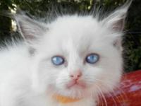 Ragdoll kittens. Super adorable, fluffy blue eyed