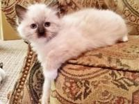 I currently have 5 of 6 Ragdoll kittycats left. They