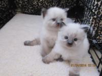 Gorgeous Ragdoll children. I have 4 available, 2 minks