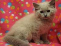 I have several lovely ragdoll kittens available.