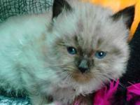WE HAVE 2 RAGDOLL KITTENS LEFT FOR SALE THATS READY FOR