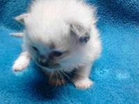 TICA REG RAGDOLL KITTEN FOR SALE.