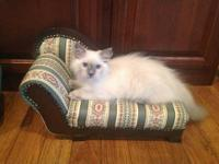 Ragdoll kittens available now. born 6/9/2013. One Male