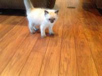 Ragdoll kittens available now. Male blue point or male