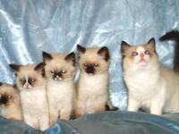 Kittens are ready now!!! Prices Reduced! Beautiful