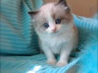 Ragdoll Kittens For Sale: small unique cattery offering