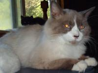 Kittens are available as of 12/1. The Ragdoll breed