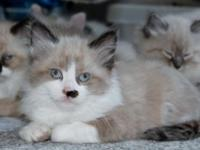 These are 7 week old Ragdoll kittens, they will be