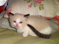 I still have two beautiful male Ragdoll kittens to