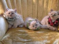 Beautiful Ragdoll Kittens Very affectionate ! My