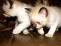 Adorable 8 week old kittens! Pure breed, and a great
