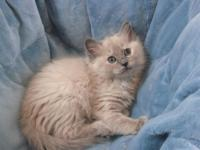 ragdoll kittens we have the beautiful minks along with