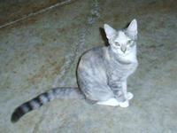 Ragdoll - Macy - Medium - Young - Female - Cat Macy,