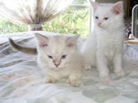 Lovely Ragdoll/Manx cross female kitty, last one left